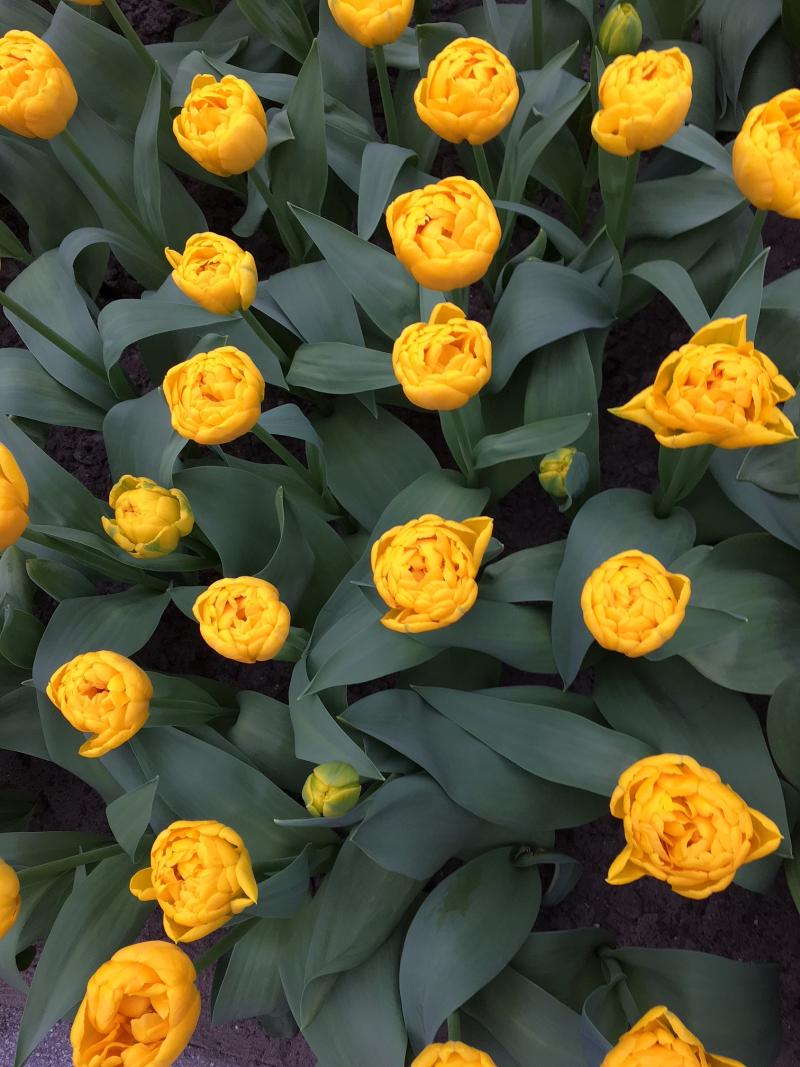 14#flowers#keukenhof#lisse#tulpen#tulips#stempelkunst-by-helga#2018-04-03