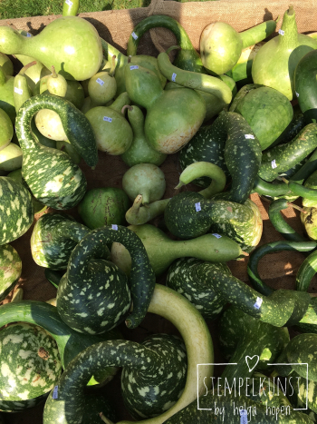 4#green#pumpkin#gruen#kuerbiss#2017-09-18