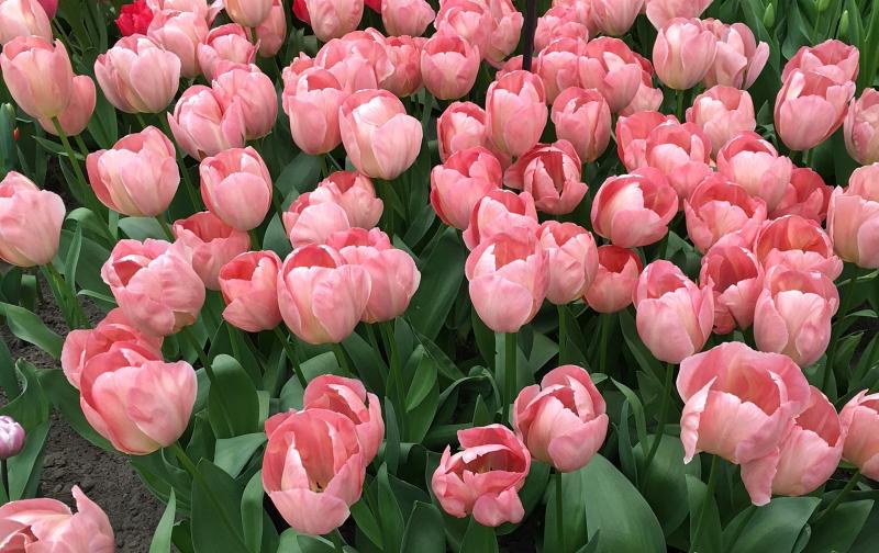 17#flowers#keukenhof#lisse#tulpen#tulips#stempelkunst-by-helga#2018-04-03