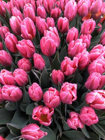 8#flowers#keukenhof#lisse#tulpen#tulips#stempelkunst-by-helga#2018-04-03