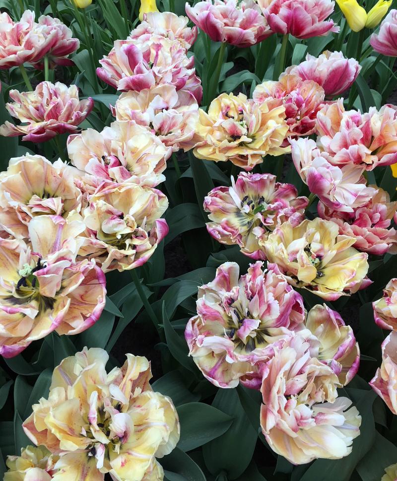 16#flowers#keukenhof#lisse#tulpen#tulips#stempelkunst-by-helga#2018-04-03